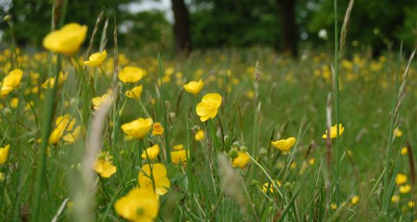 Buttercups plus on Wortham Common